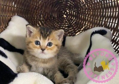Golden female kitten