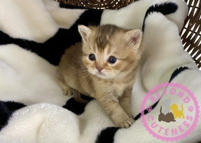 Golden male kitten