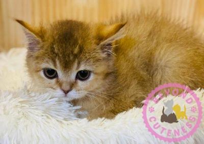 Golden kitten straight ears