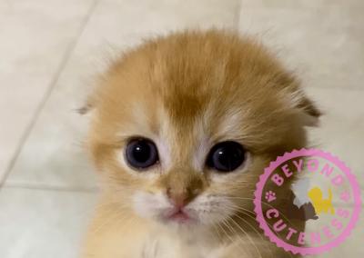 Golden male kitten fold ears