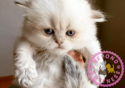 Silver Chinchilla female kitten straight ears