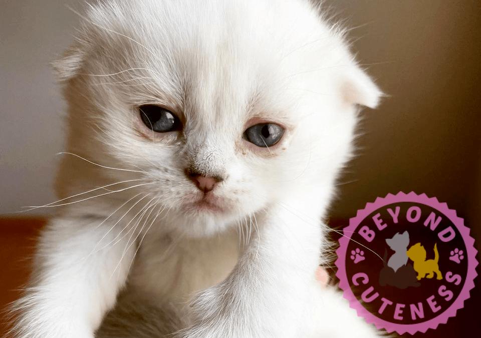 Silver Chinchilla female kitten fold ears