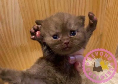 Cinnamon kitten straight ears