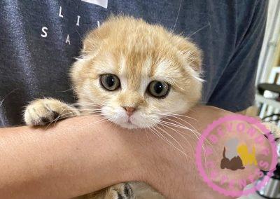 Golden kitten fold ears