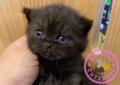 Black kittens straight ears